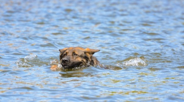 dog swimming in ocean | Island Real Estate