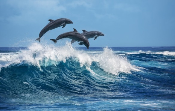 dolphins jumping out of the water | Island Real Estate