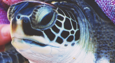sea turtle at Karen Beasley Sea Turtle Hospital | Island Real Estate