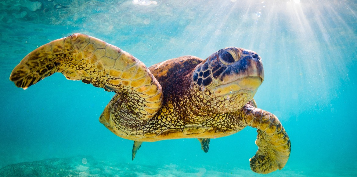 sea turtle swimming in the ocean | Island Real Estate