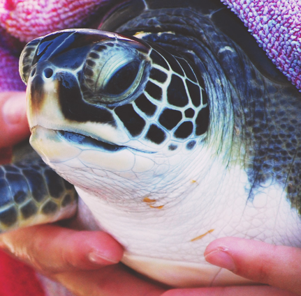 sea turtle at Karen Beasley Sea Turtle Hospital in Surf City | Island Real Estate